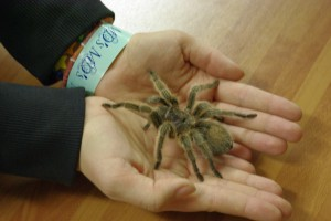 Tarantula walking in man's hands